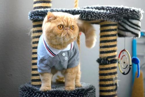 洋服を着てキャットタワーに乗るエキゾチックショートヘア