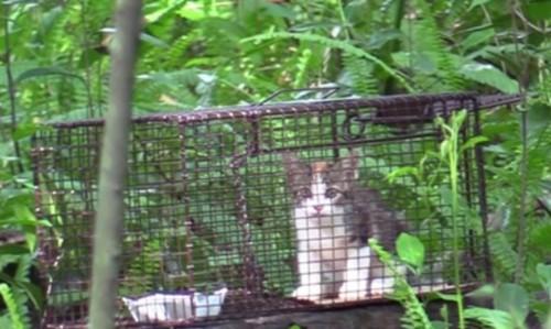 捕獲器の入り口に座る子猫