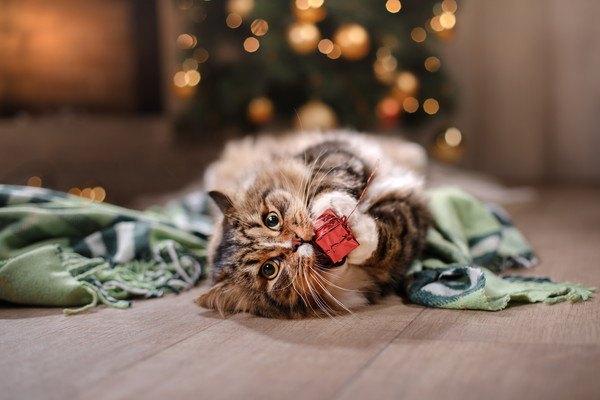 赤い箱を噛む猫