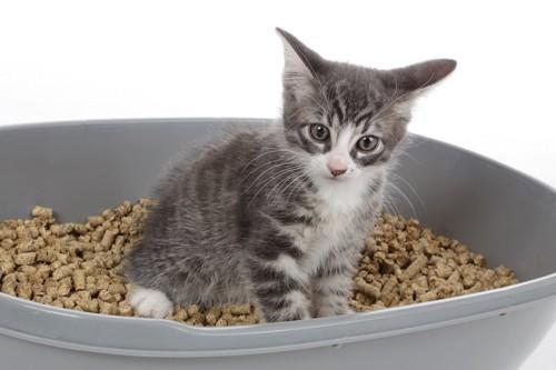 ペレットを入れた箱型トイレに入る子猫