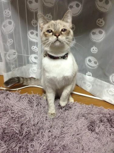 カーテンの前で見上げている猫