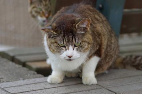 目がキツイ猫