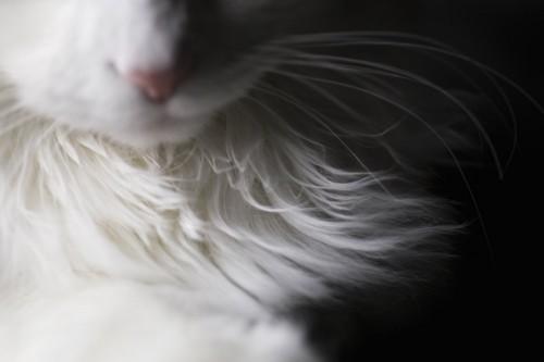 白い猫の胸毛アップ