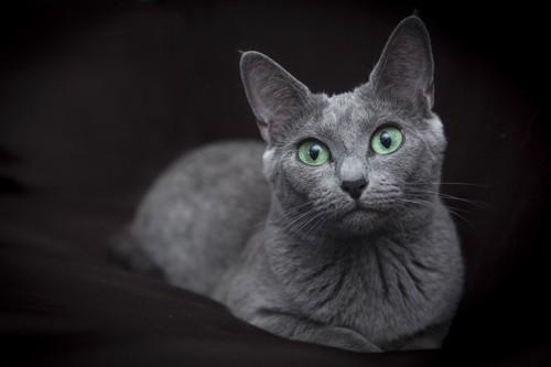美しいグリーンの瞳のロシアンブルー