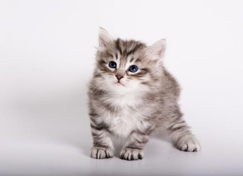 サイベリアンの子猫