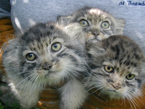 ブランブル猫