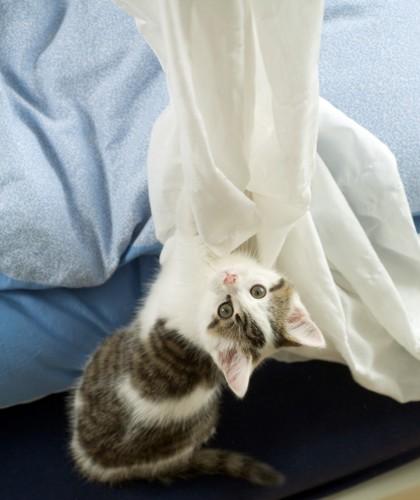 カーテンに登りたい猫