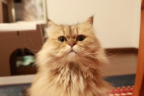 正面から見たペルシャ猫