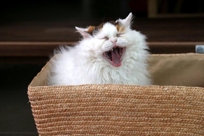 歯を出す猫