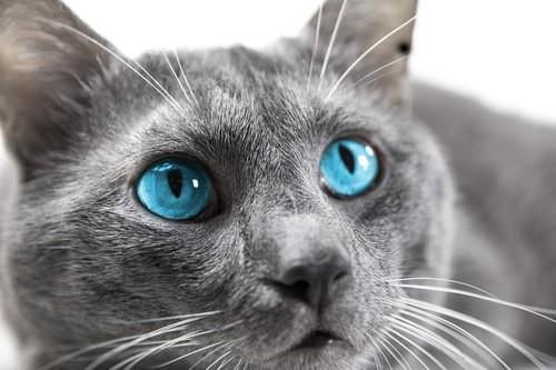 ブルー色の目の猫