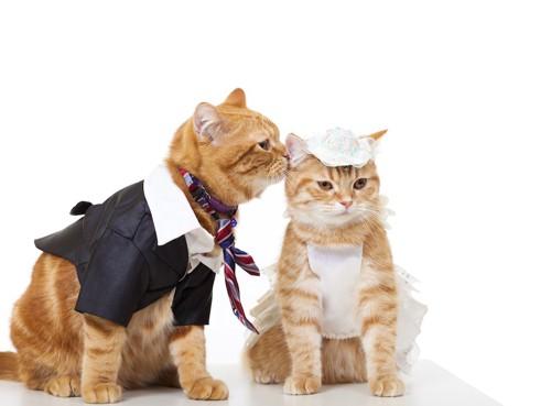 ウエディングの格好をした飼いやすいオスとメスの猫