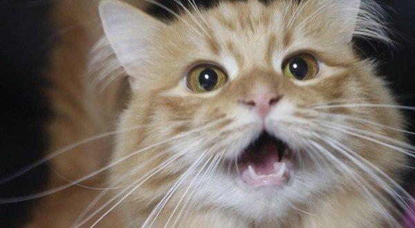 ごはんを欲しがる猫