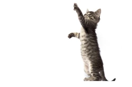 二本足で立つ子猫