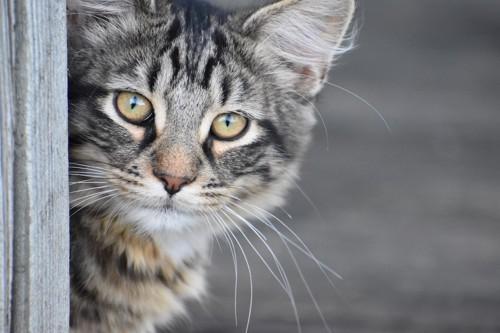 物陰から顔を出して待ち伏せする猫