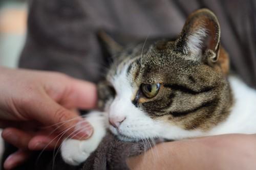 抱っこされている猫の手を触る人の手