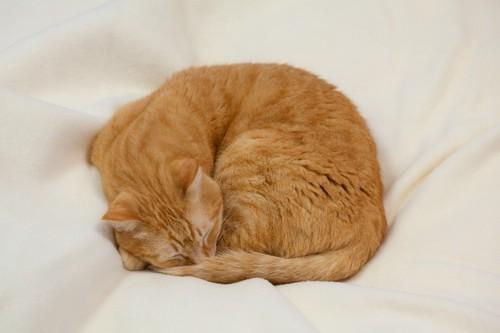 布団の上で丸くなって眠る猫
