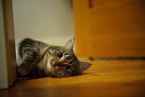 寝転がって笑う猫