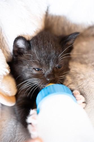 ミルクを飲む黒猫