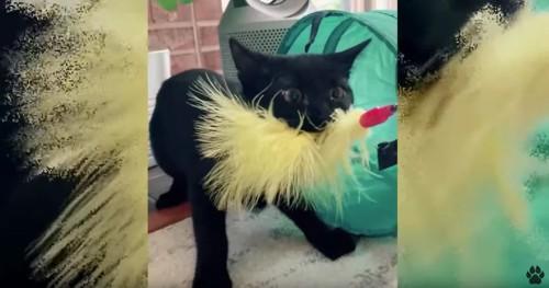 おもちゃで遊ぶ黒猫