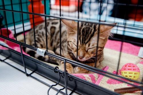 ケージの中の子猫
