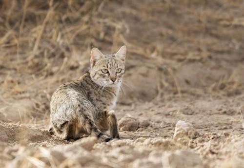 砂漠で暮らす猫