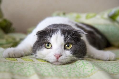 伏せてこちらを見る猫