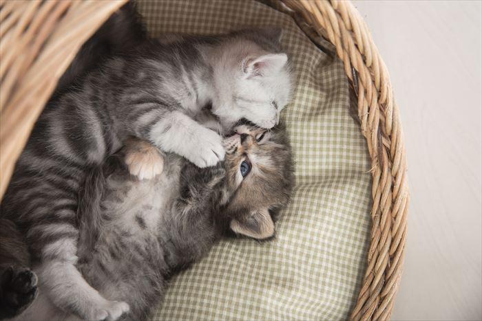 アメリカンショートヘア子猫2匹