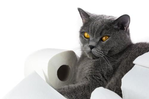 トイレットペーパーの上でくつろぐグレーの猫