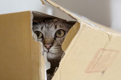 破れた箱の中にいる猫