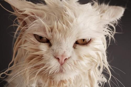 反抗的な顔の猫