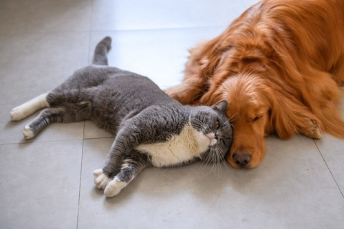 犬に甘えるグレー&白の猫