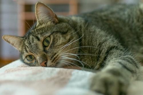 目を開けたまま休んでいる猫