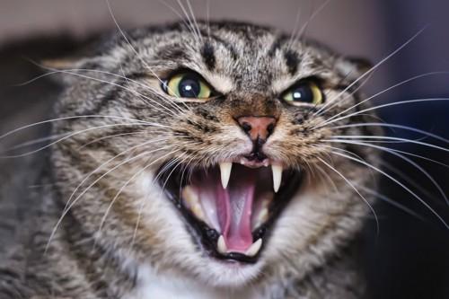 怒って虎のような顔の猫