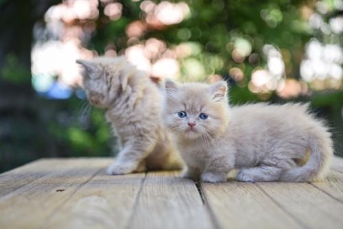 ベンチの上を歩く二匹のマンチカンの子猫