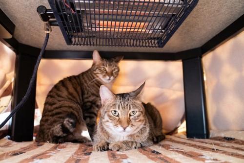 こたつに入る二匹の猫