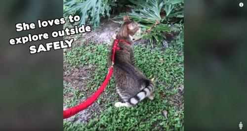 赤いハーネスをつけた猫