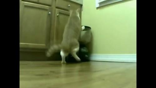 ぶつかる猫
