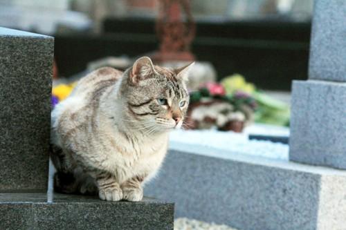 お墓で座る猫