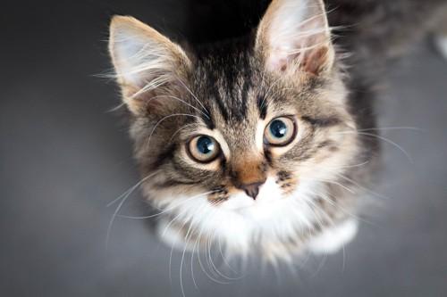 上を向き興味津々の猫
