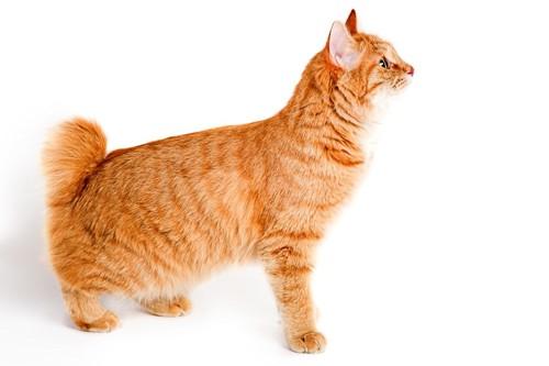 尻尾の短い猫