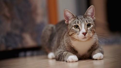 床に伏せて何かを見つめる猫