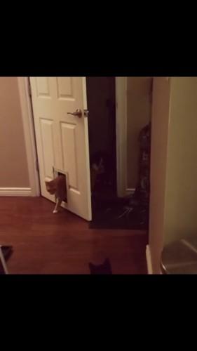 キャットドアを通る猫