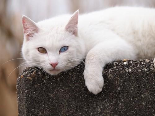 石垣の上でくつろぐオッドアイの猫