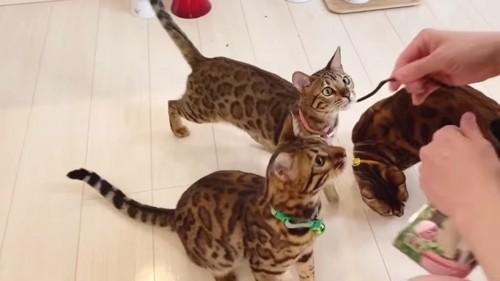 おやつを見上げる猫たち