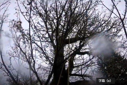 マンゴーが立ち往生した木