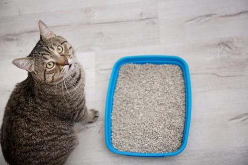 猫砂の隣に座っている猫
