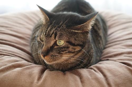 香箱すわりの猫