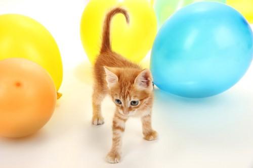たくさんの風船の中を歩く子猫