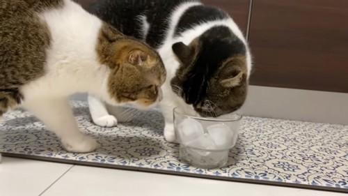 グラスに顔を近づける2匹の猫
