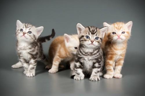 アメリカンショートヘアの子猫たち